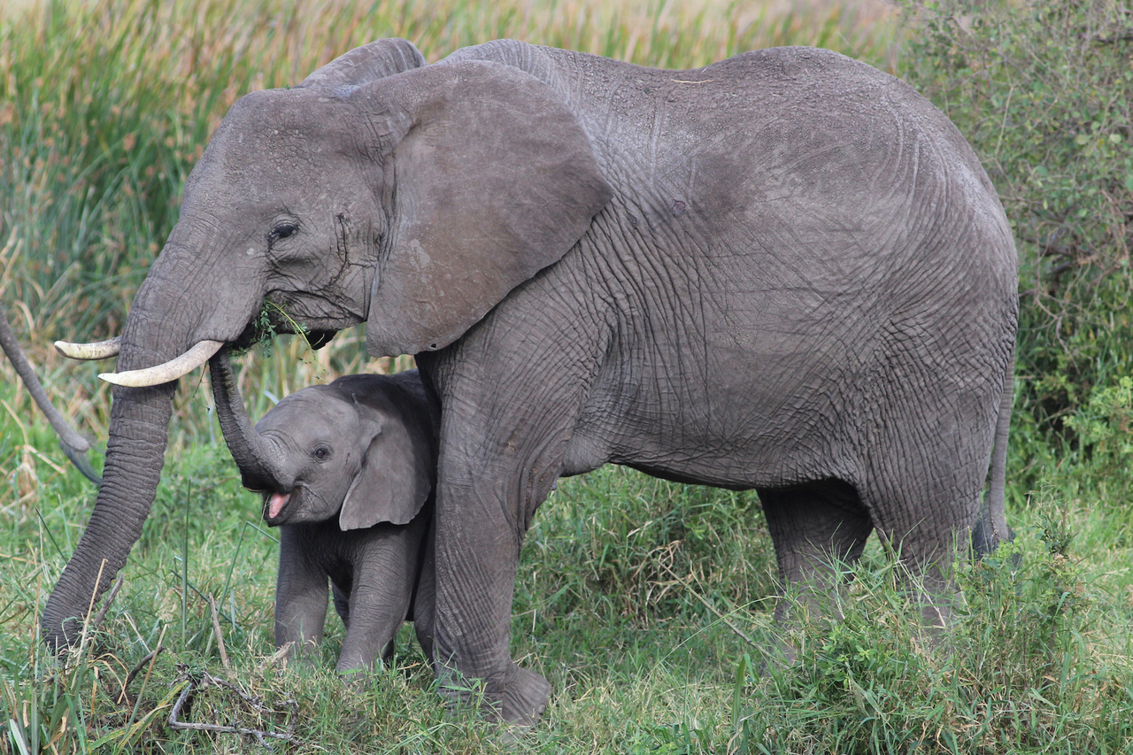 Send A Tweet Or Email To Keep Elephants Protected