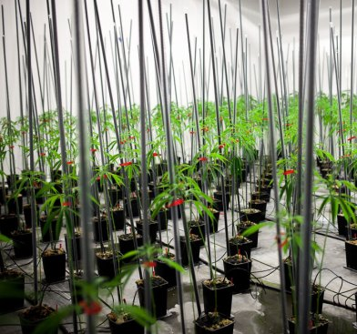 Cannabisplantene dyrkes under svært kontrollerte forhold. (Foto: Matias Nordahl Carlsen)