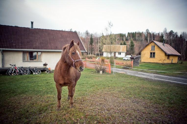 Hesten i Hurdalsjøen Økologiske Landsby (Foto: Tom Øverlie, NRK)