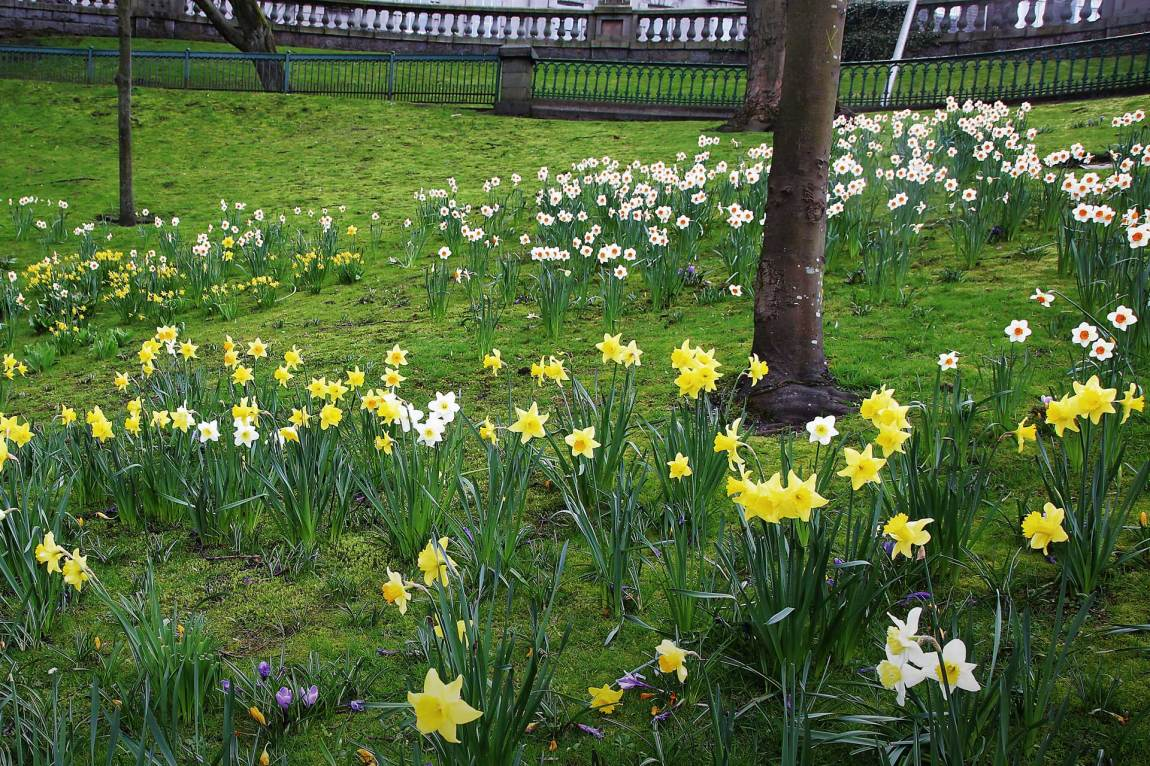 Niklas vil ikke røpe hvor han befinner seg, men påskeliljene rundt ham vitner om at våren har kommet til den britiske byen. Foto: Webjørn S. Espeland, NRK P3