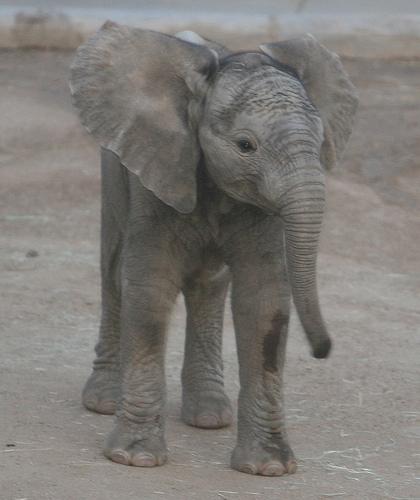En babyelefant uten akryldress.