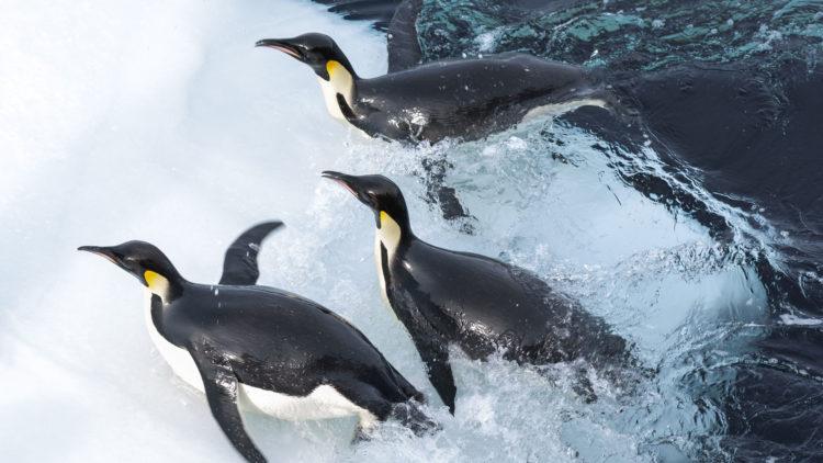 """Keiserpingvinene er klossete på land, men grasiøse i vannet i """"Pingvinenes marsj 2"""". (Foto: Norsk Filmdistribusjon AS)"""