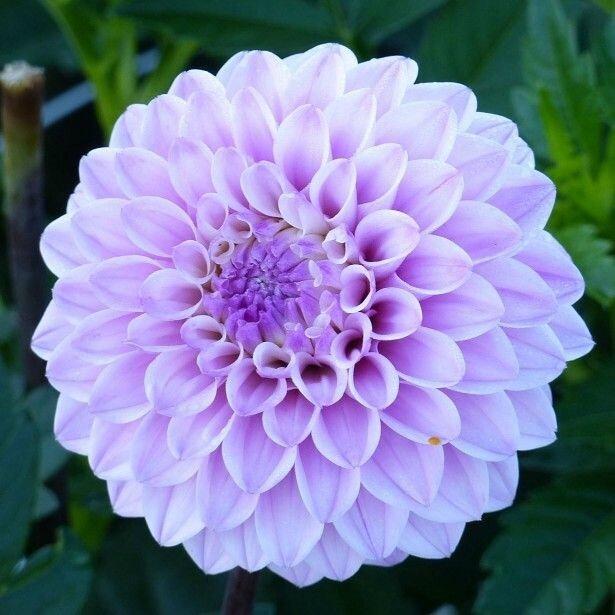 Dahlia-decoratif-Seniors-Perfection-85060-1