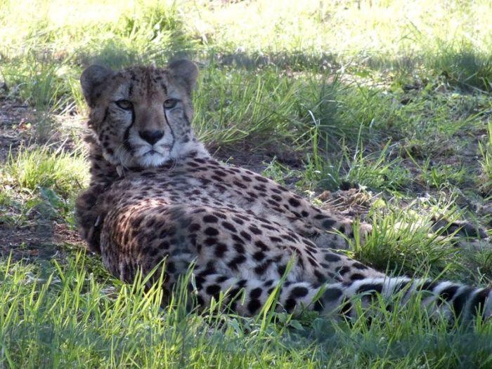 parc-des-felins-nesle-seine-et-marne-lion-blanc-jaguar-guepard-tigre-lorike-bebe-lynx-lapin-elevage-reproduction (13)