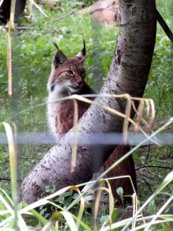 parc-des-felins-nesle-seine-et-marne-lion-blanc-jaguar-guepard-tigre-lorike-bebe-lynx-lapin-elevage-reproduction (23)