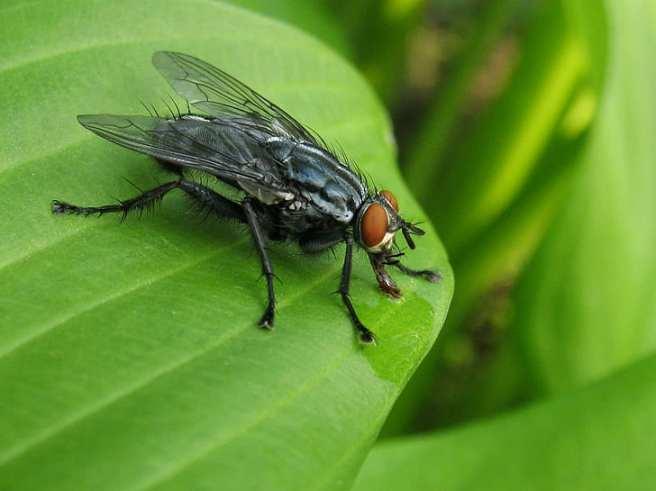 Hasil gambar untuk lalat hd