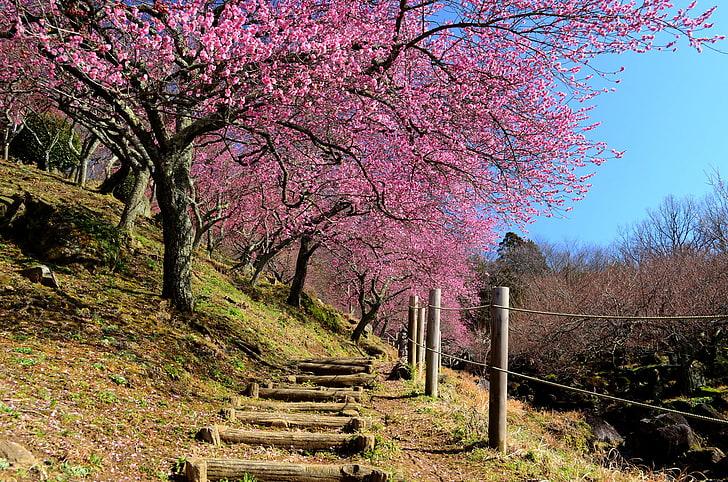 printemps japon jardin sakura fond