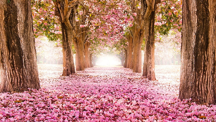 Cherry Blossom Wallpapers Hd Wallpapers Free Download Wallpaperbetter