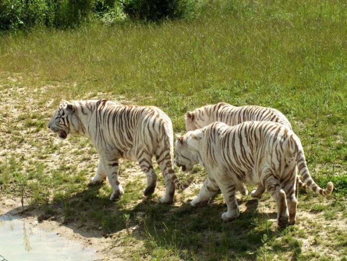 parc-des-felins-nesle-seine-et-marne-lion-blanc-jaguar-guepard-tigre-lorike-bebe-lynx-lapin-elevage-reproduction (31)