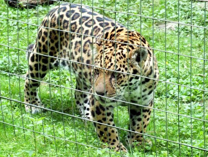 parc-des-felins-nesle-seine-et-marne-lion-blanc-jaguar-guepard-tigre-lorike-bebe-lynx-lapin-elevage-reproduction (6)