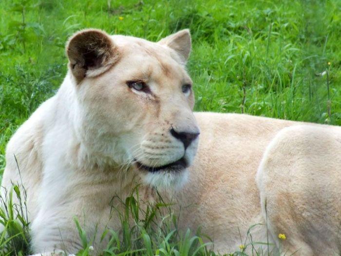 parc-des-felins-nesle-seine-et-marne-lion-blanc-jaguar-guepard-tigre-lorike-bebe-lynx-lapin-elevage-reproduction (35)