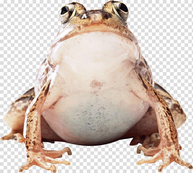 Brown Frog Illustration Fat Frog Transparent Background Png