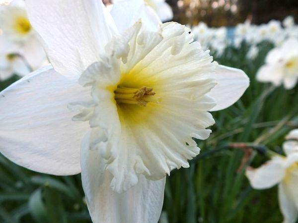 parc-floral-vincennes-printemps-fleurs-jonquilles-magnolias (16)