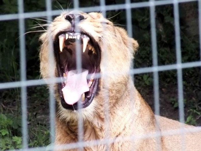 parc-des-felins-nesle-seine-et-marne-lion-blanc-jaguar-guepard-tigre-lorike-bebe-lynx-lapin-elevage-reproduction (18)