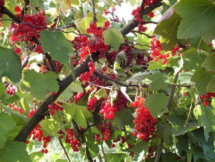 cueillette-ferme-viltain-chapeau-de-paille-jouy-en-josas-fleurs-mures-groseilles-tomates-cerises-mais-doux-champs-nature-courgette-choux (11)