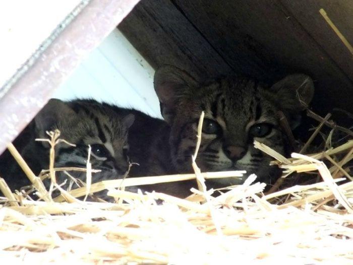 parc-des-felins-nesle-seine-et-marne-lion-blanc-jaguar-guepard-tigre-lorike-bebe-lynx-lapin-elevage-reproduction (10)