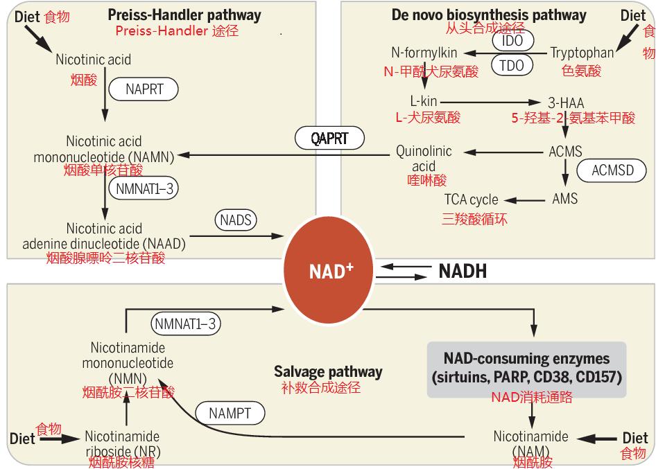 NMN中國:神奇物質NMN是什么_評論頻道_環球外匯