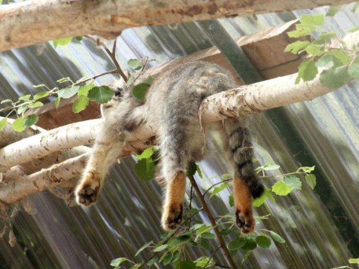 parc-des-felins-nesle-seine-et-marne-lion-blanc-jaguar-guepard-tigre-lorike-bebe-lynx-lapin-elevage-reproduction (22)