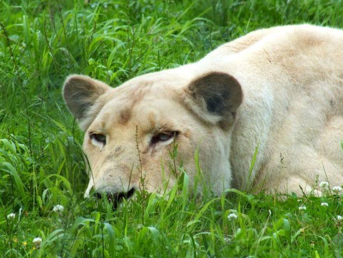 parc-des-felins-nesle-seine-et-marne-lion-blanc-jaguar-guepard-tigre-lorike-bebe-lynx-lapin-elevage-reproduction (36)