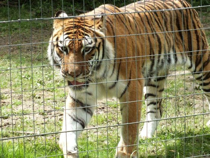 parc-des-felins-nesle-seine-et-marne-lion-blanc-jaguar-guepard-tigre-lorike-bebe-lynx-lapin-elevage-reproduction (21)