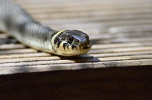 Snake Removal PA