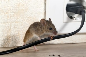Mouse chewing on wire