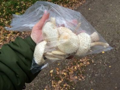 Paransolhat svamp. Fundet i rigelige mængder i sandflugtsplantagen.