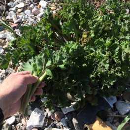 Plante: Strandkål. Smager fantastisk. Jeg ynder at spise den rå.