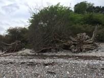 Fantastisk mange væltede træer på stranden.