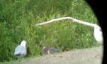 087-01-2012 Tricolored Heron 05:27:2012 Presque Isle S.P., PA., Shannon Thompson #1