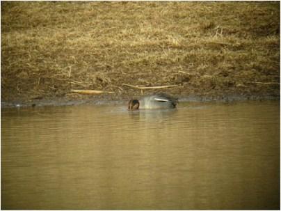 119a-01-2012 Eurasian Teal 01:17:2012 Newtown, Bucks Co. August Mirabella #1