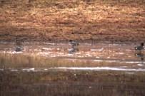 119a-01-2012 Eurasian Teal 01:17:2012 Newtown, Bucks Co. Mark Gallagher #1