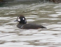 149-01-2012 Harlequin Duck