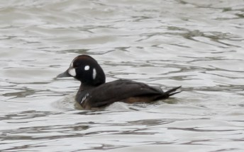 149-01-2012 Harlequin Duck Presque isle S.P., PA 01:08:2012, Shawn Collins #4a
