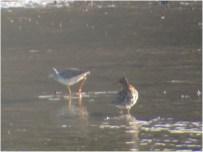 321-01-2012 Ruff 04:16:2012 Somerset Lake, Somerset Co., Mike Lanzone #2