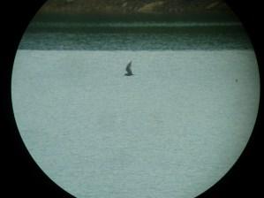 369-01-2012 Arctic Tern 05:22:2012 Elk State Park, Al Guarente #4