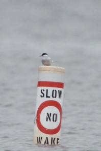 369-02-2012 Arctic Tern 05:21:2012 Beltzville Res., Carbon Co., Dustin Welch #1