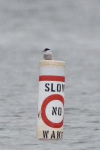 369-02-2012 Arctic Tern 05:21:2012 Beltzville Res., Carbon Co., Dustin Welch #3