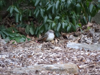 545-01-2012 Ash-throated Flycatcher 01:04:2012 Newville, Cumberland Co., Dale Gearhart #1