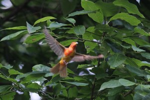780-02-2012 male summer tanager 7-4-12 Mt Gretna lamoreaux