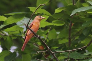 780-02-2012 summer tanager female 7-8-12 Mt Gretna lamoreaux
