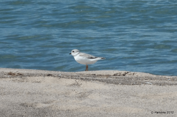 261-02-2012 PipingPlover