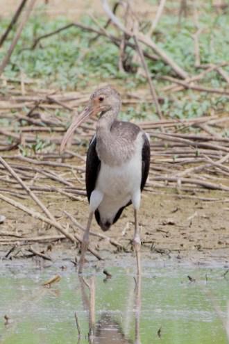 White Ibis- Green Pond, Northampton Co., photo by Dustin Welch