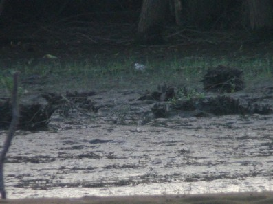 261-03-2012 Piping Plover2