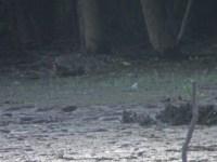Piping Plover - Conejohela Flats - Meredith Lombard1