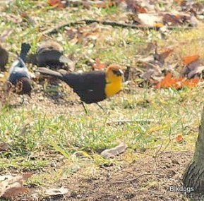 859-01-2012 Yellow-Headed Blackbird 11-28-2012 Bucks