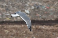 Vega Herring Gull 12-15-12 Bucks 3