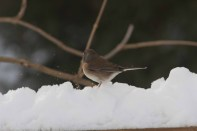 Oregon Junco_Nick Bolgiano_12-31-2012c