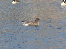 Pink-footed Goose photo 2 Scott Burnet