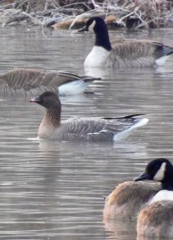 Pink-footed Muhlenberg Rick Wiltraut photo 1-8-2013